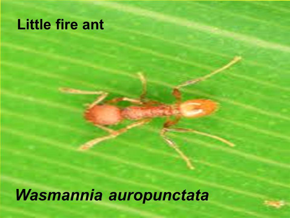 Little fire ant Wasmannia auropunctata