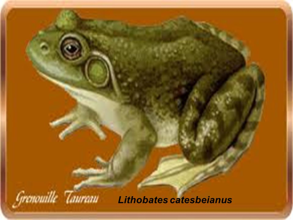 Lithobates catesbeianus
