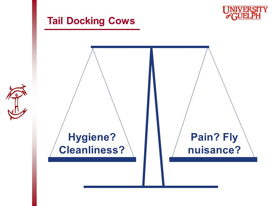 Tail Docking Cows Hygiene Cleanliness Pain Fly nuisance