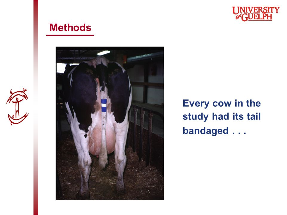 Every cow in the study had its tail bandaged... Methods