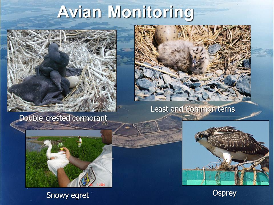 Avian Monitoring Osprey Snowy egret Double-crested cormorant Least and Common terns