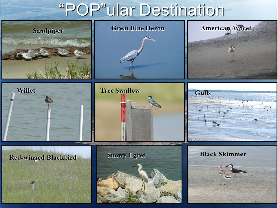 POP ular Destination Red-winged Blackbird Great Blue Heron Willet Tree Swallow Snowy Egret Black Skimmer Gulls American Avocet Sandpiper