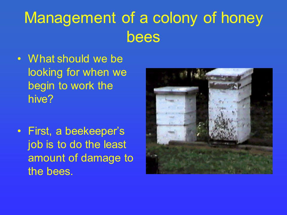 Management of a colony of honey bees What should we be looking for when we begin to work the hive.