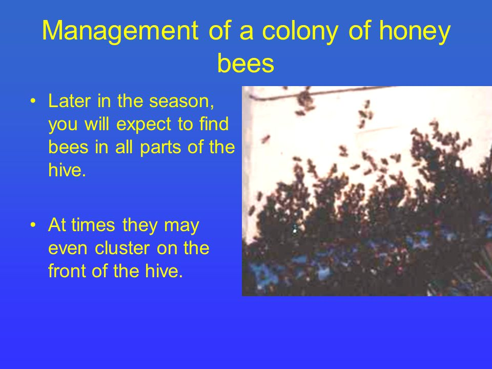 Management of a colony of honey bees Later in the season, you will expect to find bees in all parts of the hive.