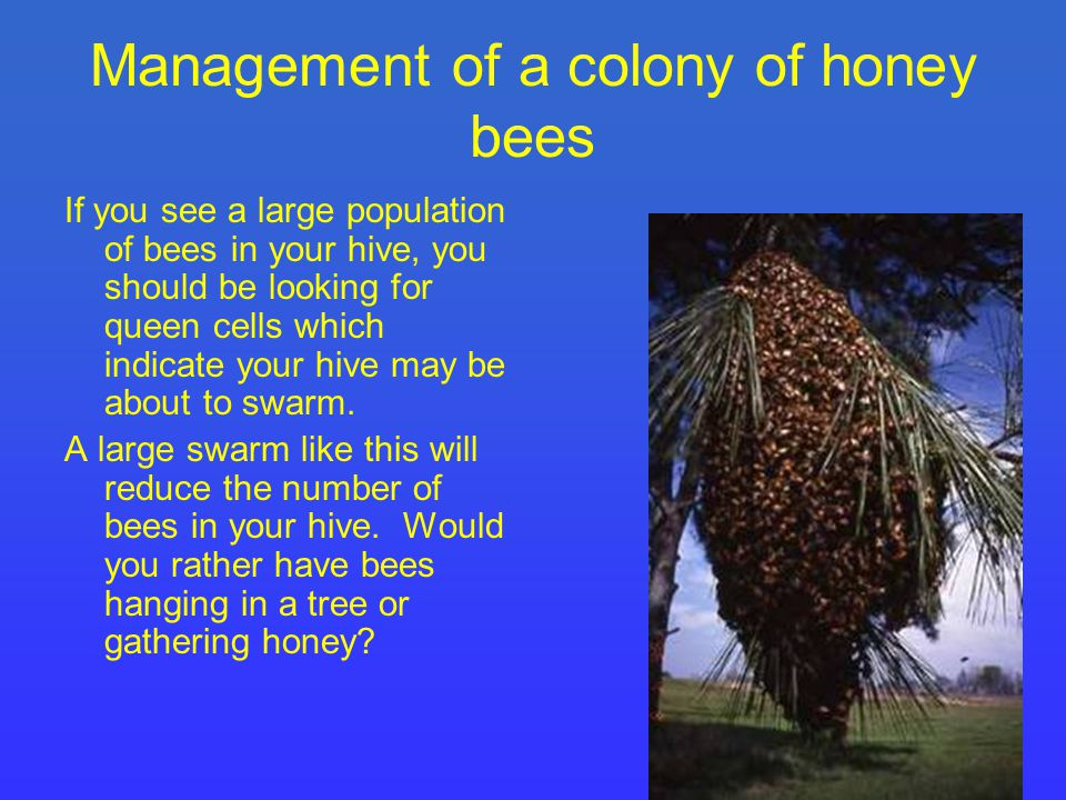 Management of a colony of honey bees If you see a large population of bees in your hive, you should be looking for queen cells which indicate your hive may be about to swarm.