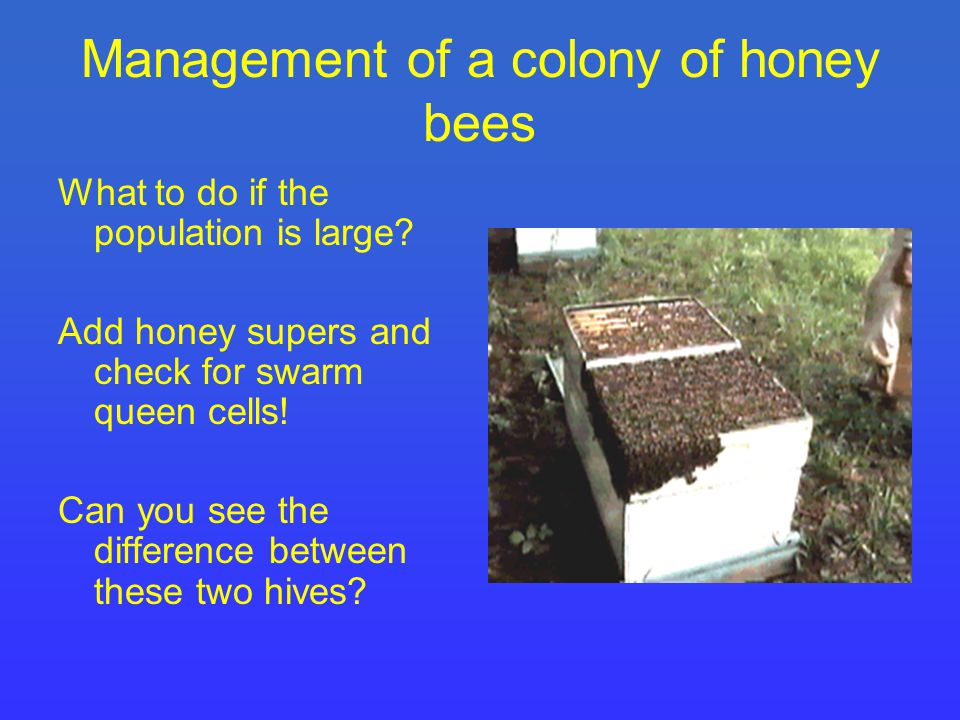 Management of a colony of honey bees What to do if the population is large.