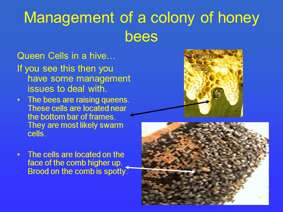 Management of a colony of honey bees Queen Cells in a hive… If you see this then you have some management issues to deal with.