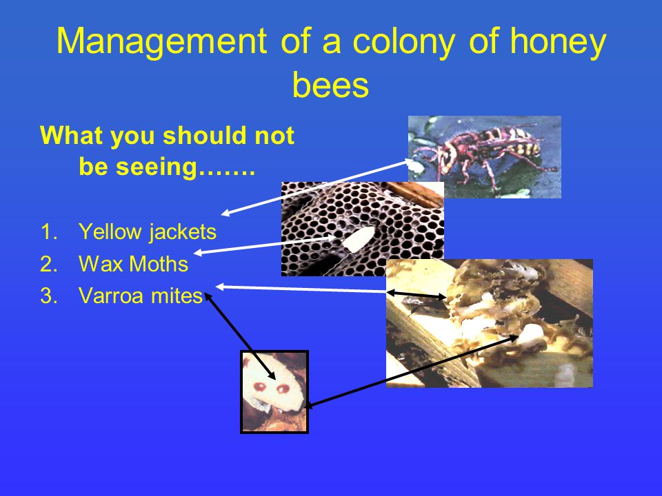 Management of a colony of honey bees What you should not be seeing…….