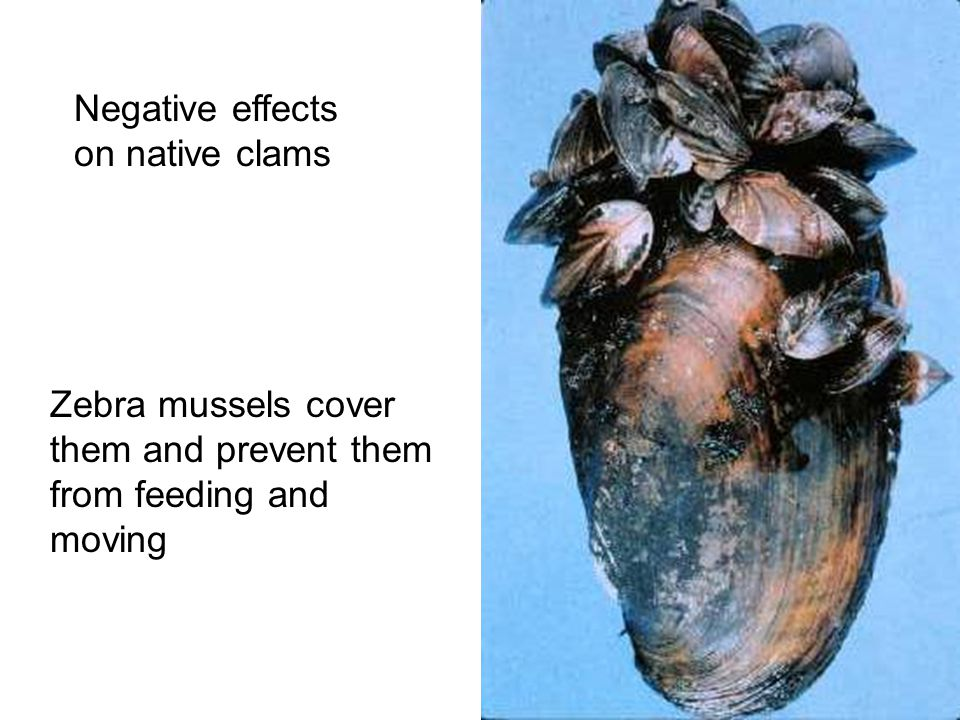 Negative effects on native clams Zebra mussels cover them and prevent them from feeding and moving
