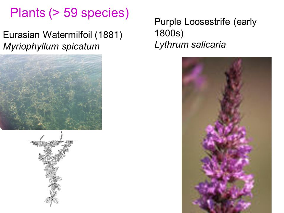 Plants (> 59 species) Eurasian Watermilfoil (1881) Myriophyllum spicatum Purple Loosestrife (early 1800s) Lythrum salicaria