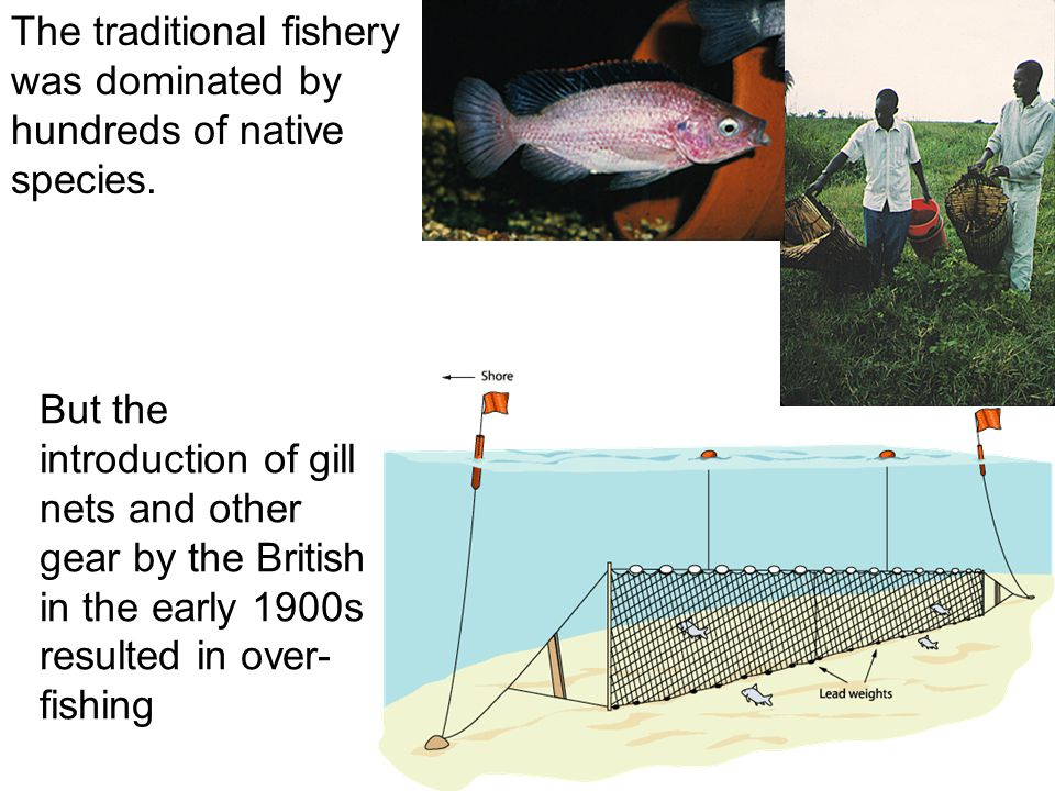 The traditional fishery was dominated by hundreds of native species.