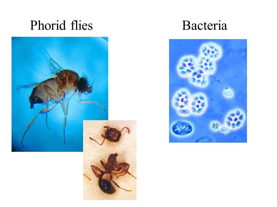 Phorid fliesBacteria