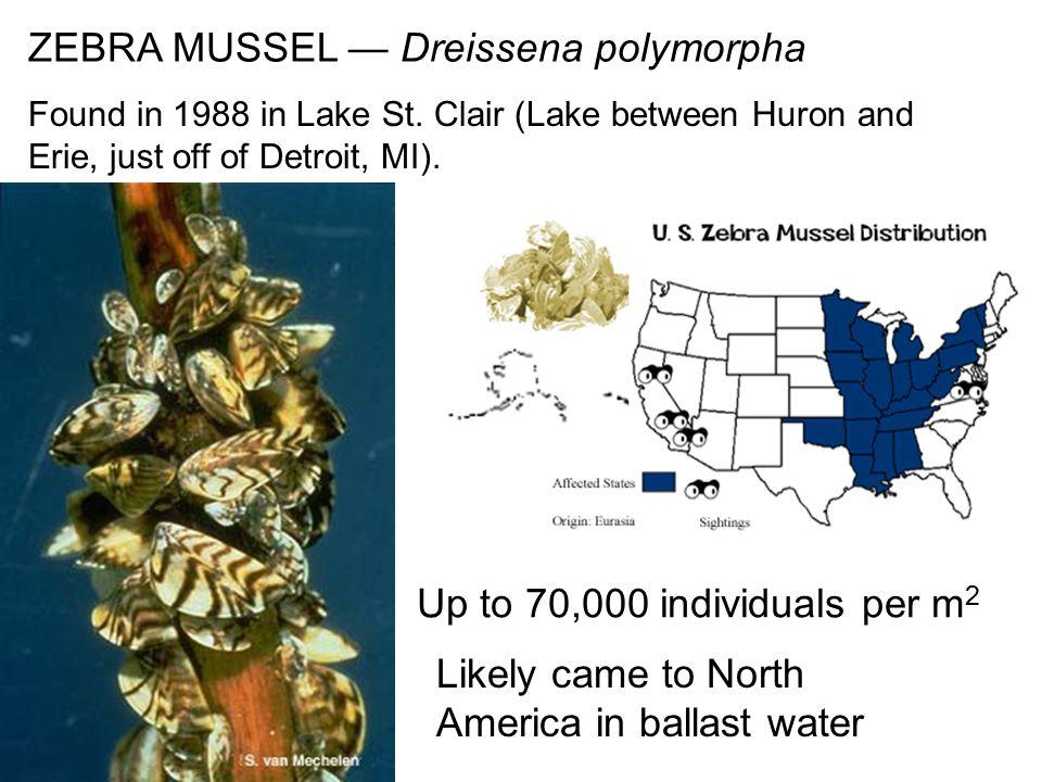 ZEBRA MUSSEL — Dreissena polymorpha Found in 1988 in Lake St.