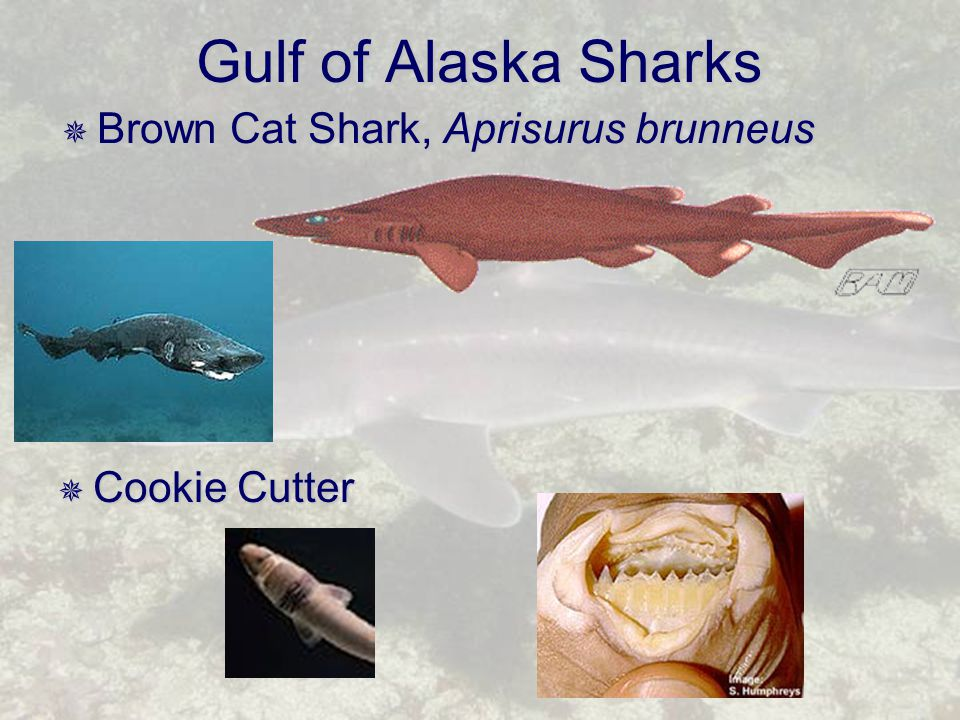 Gulf of Alaska Sharks  Brown Cat Shark, Aprisurus brunneus  Cookie Cutter