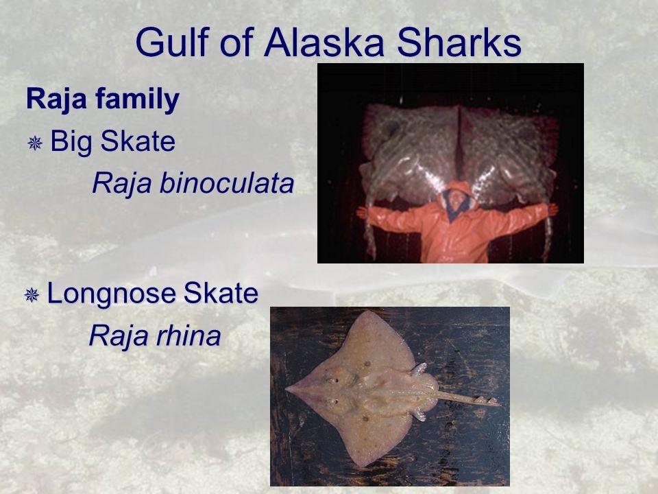 Gulf of Alaska Sharks Raja family  Big Skate Raja binoculata  Longnose Skate Raja rhina
