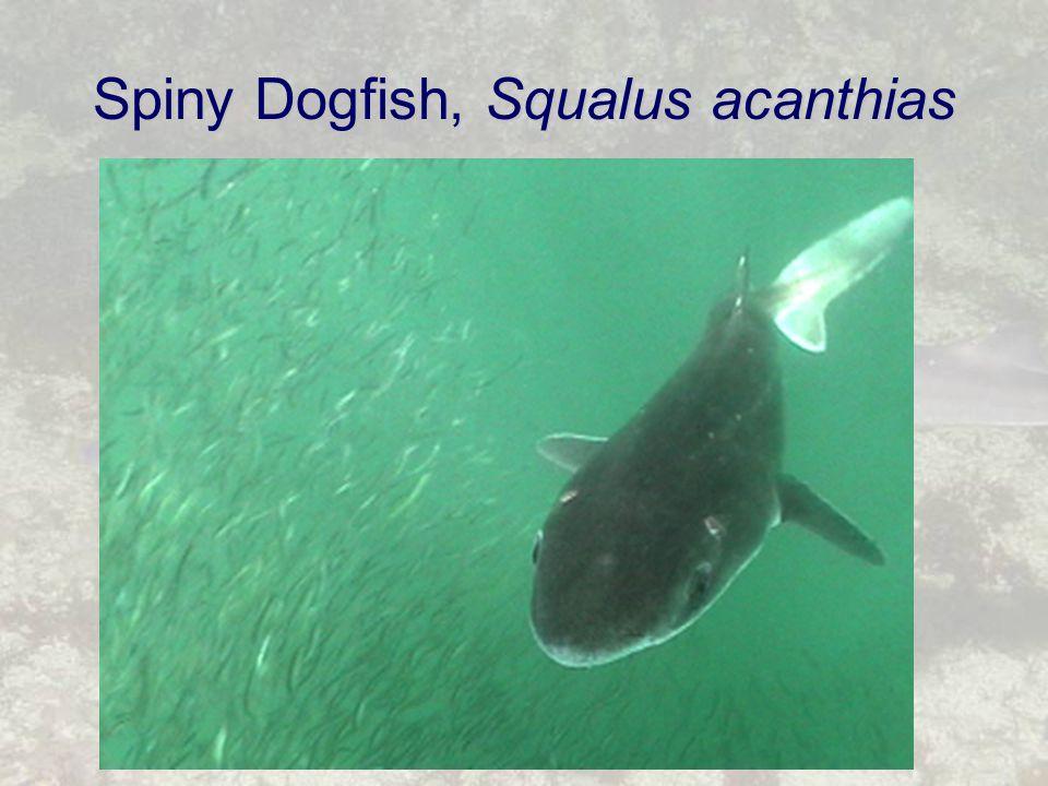 Spiny Dogfish, Squalus acanthias