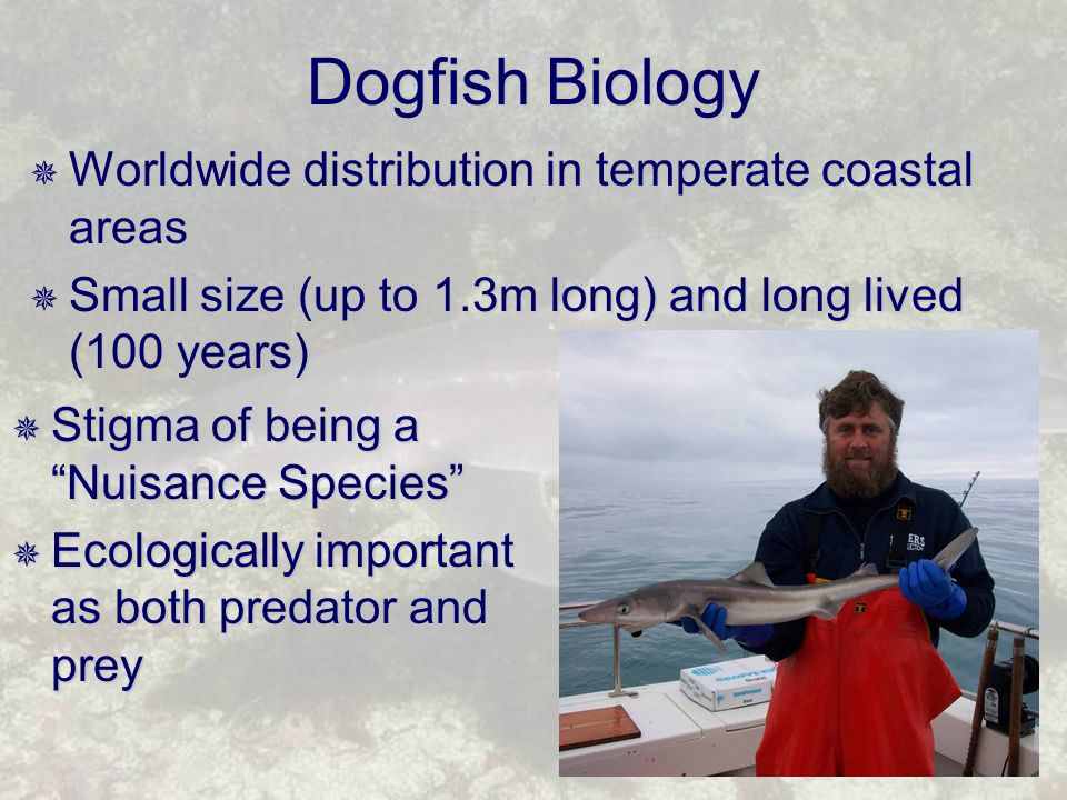 Dogfish Biology  Worldwide distribution in temperate coastal areas  Small size (up to 1.3m long) and long lived (100 years)  Stigma of being a Nuisance Species  Ecologically important as both predator and prey