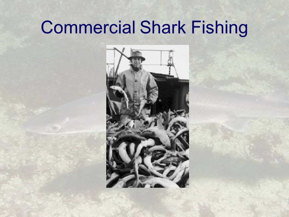 Commercial Shark Fishing