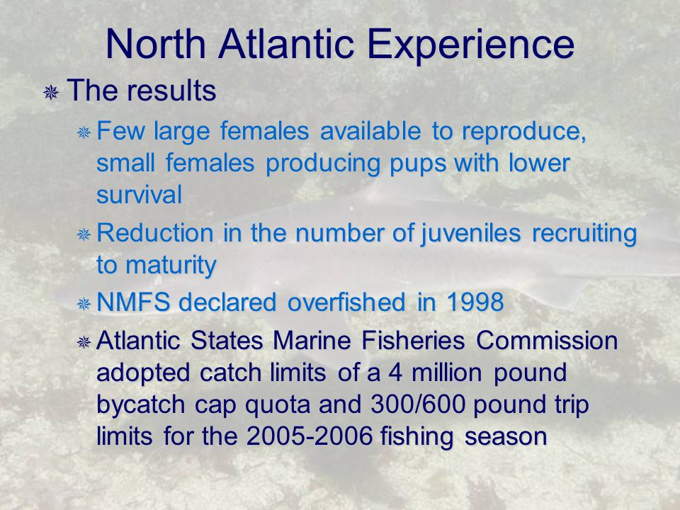 North Atlantic Experience  The results  Few large females available to reproduce, small females producing pups with lower survival  Reduction in the number of juveniles recruiting to maturity  NMFS declared overfished in 1998  Atlantic States Marine Fisheries Commission adopted catch limits of a 4 million pound bycatch cap quota and 300/600 pound trip limits for the 2005-2006 fishing season