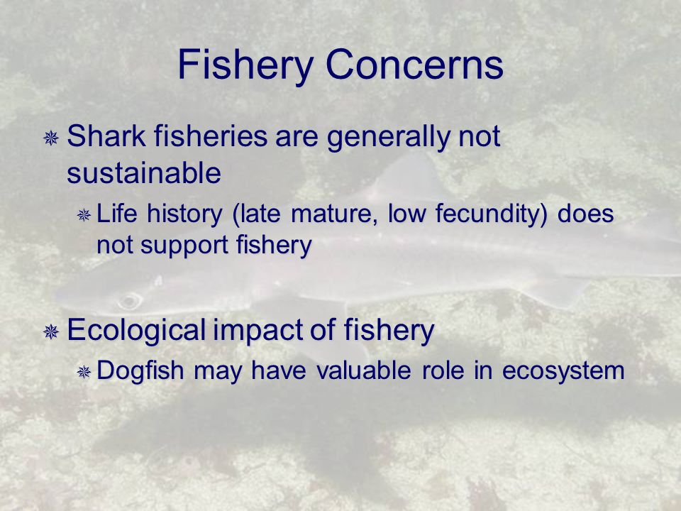 Fishery Concerns  Shark fisheries are generally not sustainable  Life history (late mature, low fecundity) does not support fishery  Ecological impact of fishery  Dogfish may have valuable role in ecosystem