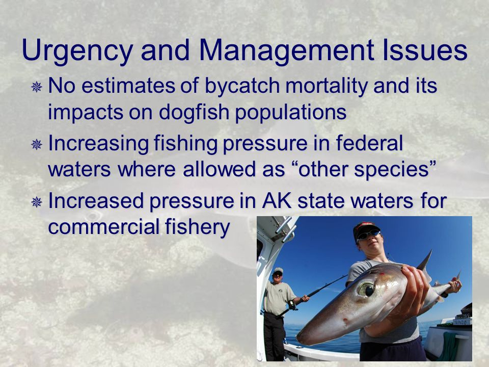  No estimates of bycatch mortality and its impacts on dogfish populations  Increasing fishing pressure in federal waters where allowed as other species  Increased pressure in AK state waters for commercial fishery