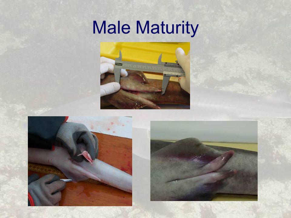 Male Maturity