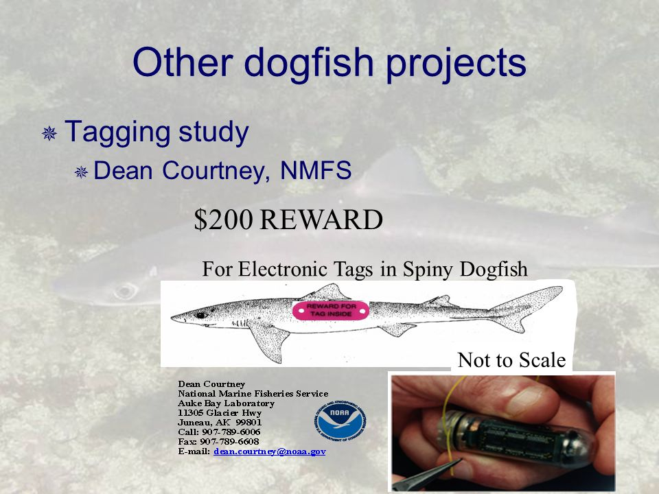Other dogfish projects  Tagging study  Dean Courtney, NMFS $200 REWARD For Electronic Tags in Spiny Dogfish Not to Scale