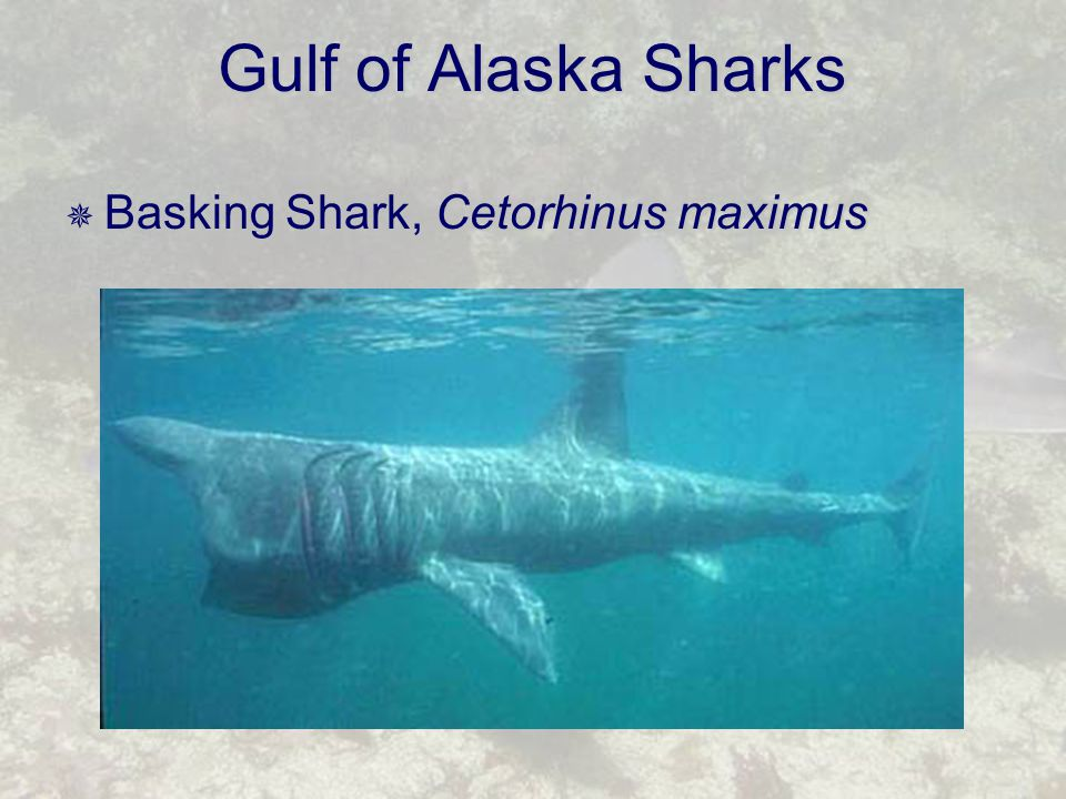 Gulf of Alaska Sharks  Basking Shark, Cetorhinus maximus