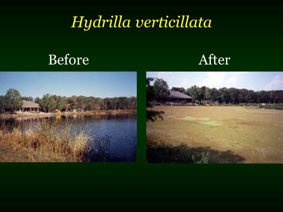Hydrilla verticillata BeforeAfter