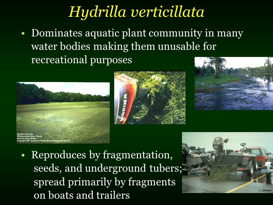 Hydrilla verticillata Dominates aquatic plant community in many water bodies making them unusable for recreational purposes Reproduces by fragmentatio