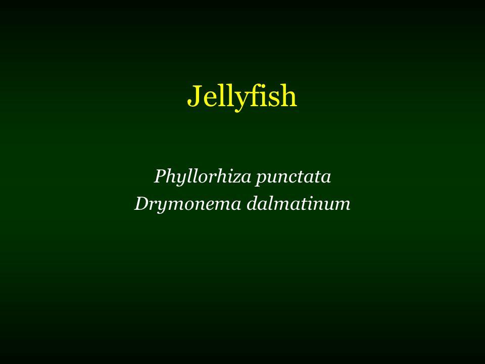 Jellyfish Phyllorhiza punctata Drymonema dalmatinum