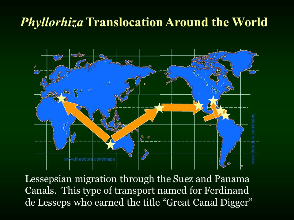 Phyllorhiza Translocation Around the World Lessepsian migration through the Suez and Panama Canals. This type of transport named for Ferdinand de Less