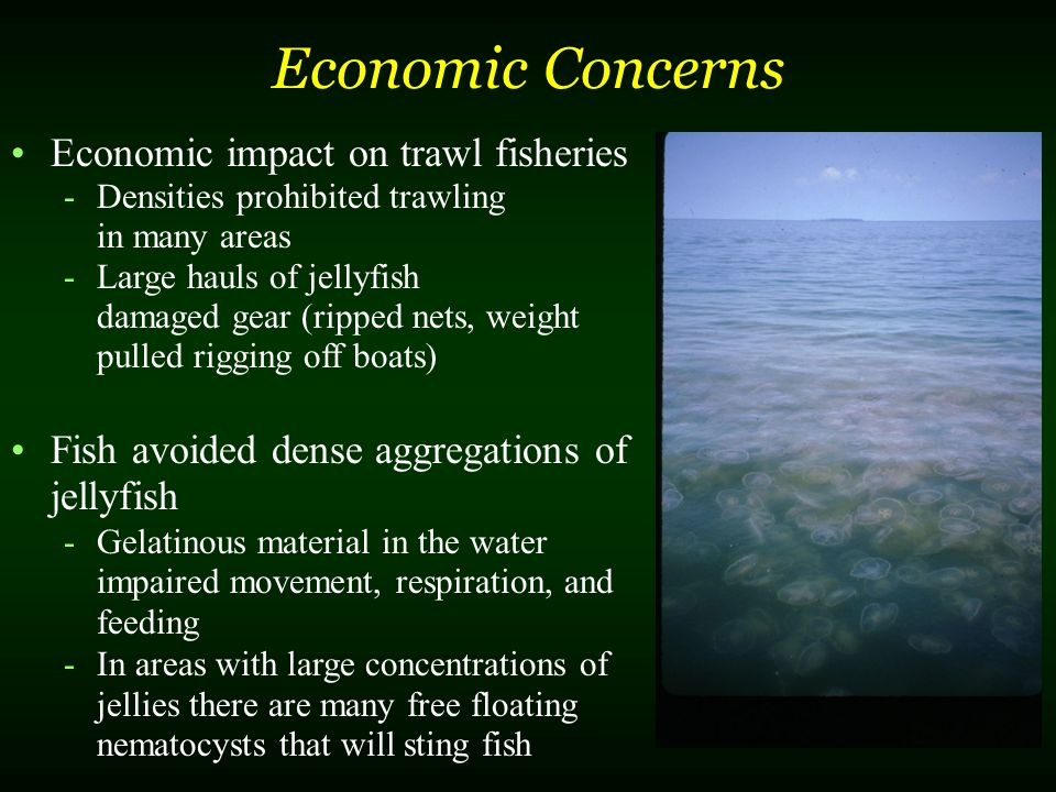 Economic Concerns Economic impact on trawl fisheries -Densities prohibited trawling in many areas -Large hauls of jellyfish damaged gear (ripped nets,
