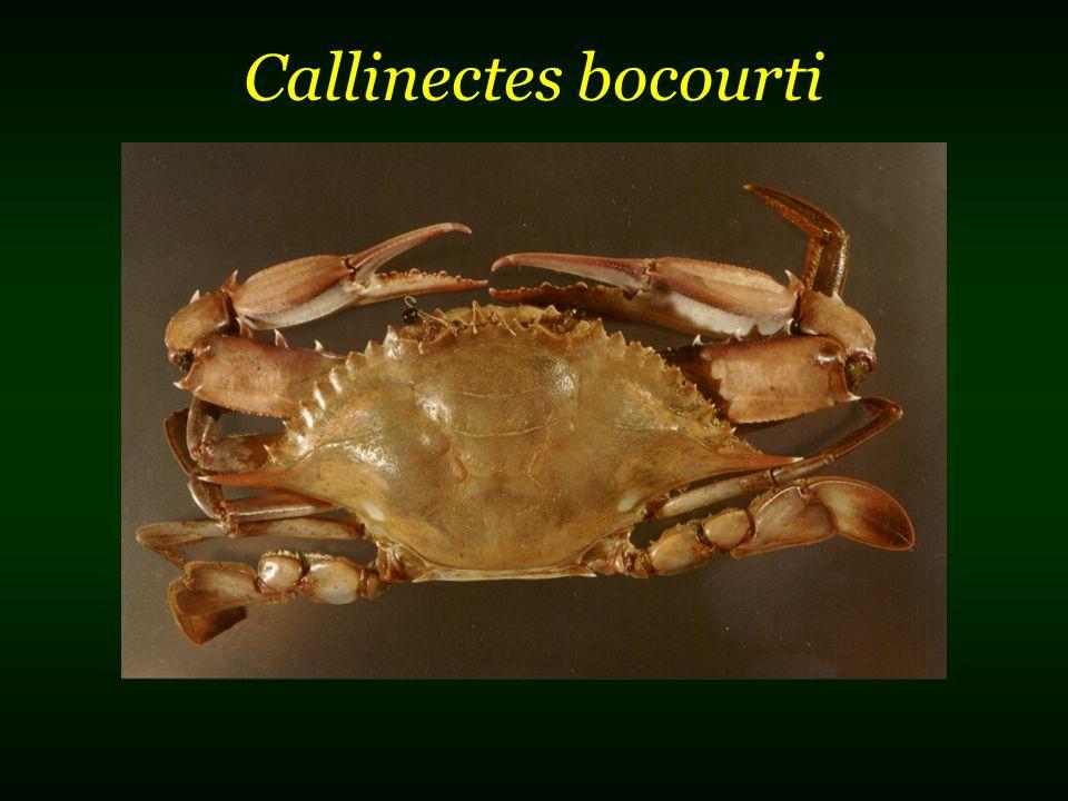 Callinectes bocourti