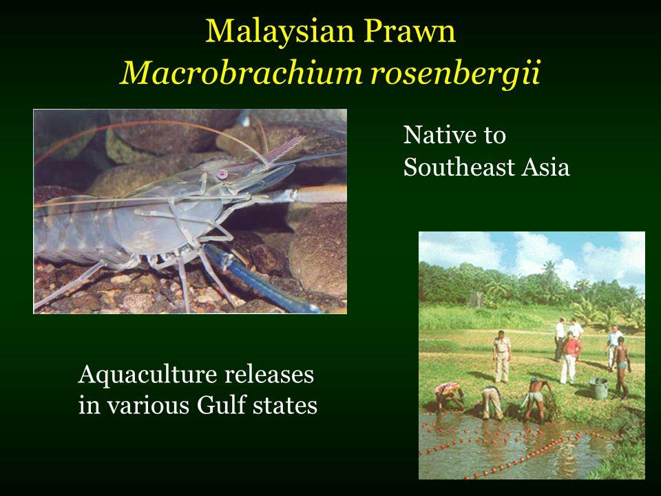 Malaysian Prawn Macrobrachium rosenbergii Native to Southeast Asia Aquaculture releases in various Gulf states