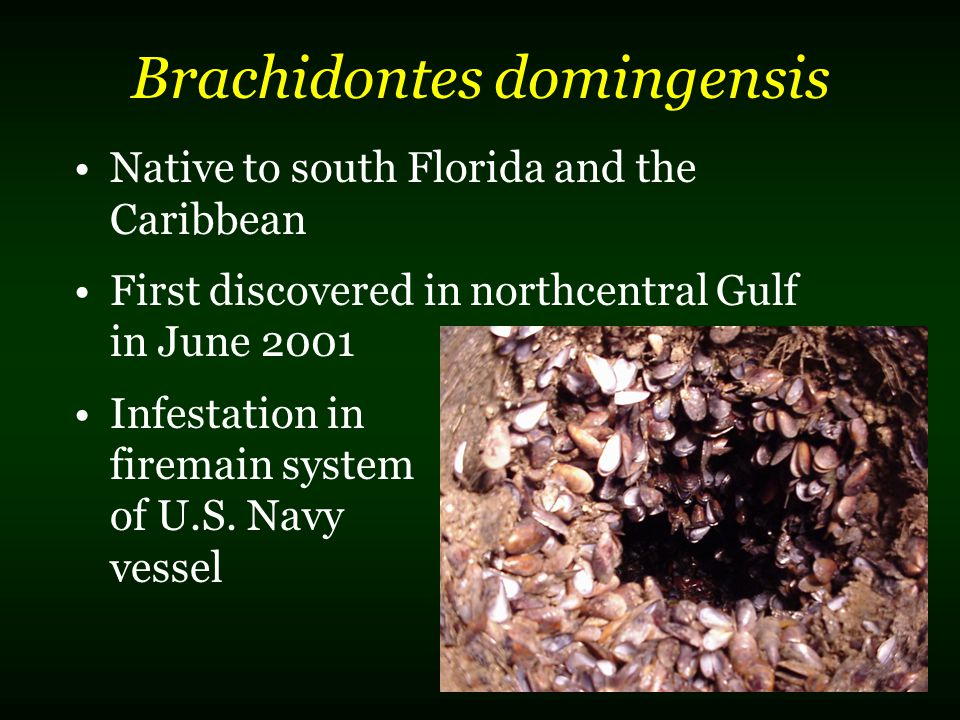 Native to south Florida and the Caribbean First discovered in northcentral Gulf in June 2001 Infestation in firemain system of U.S.