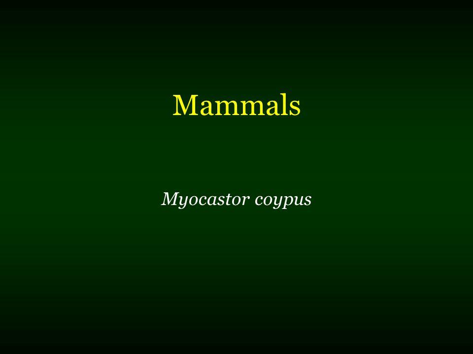 Mammals Myocastor coypus