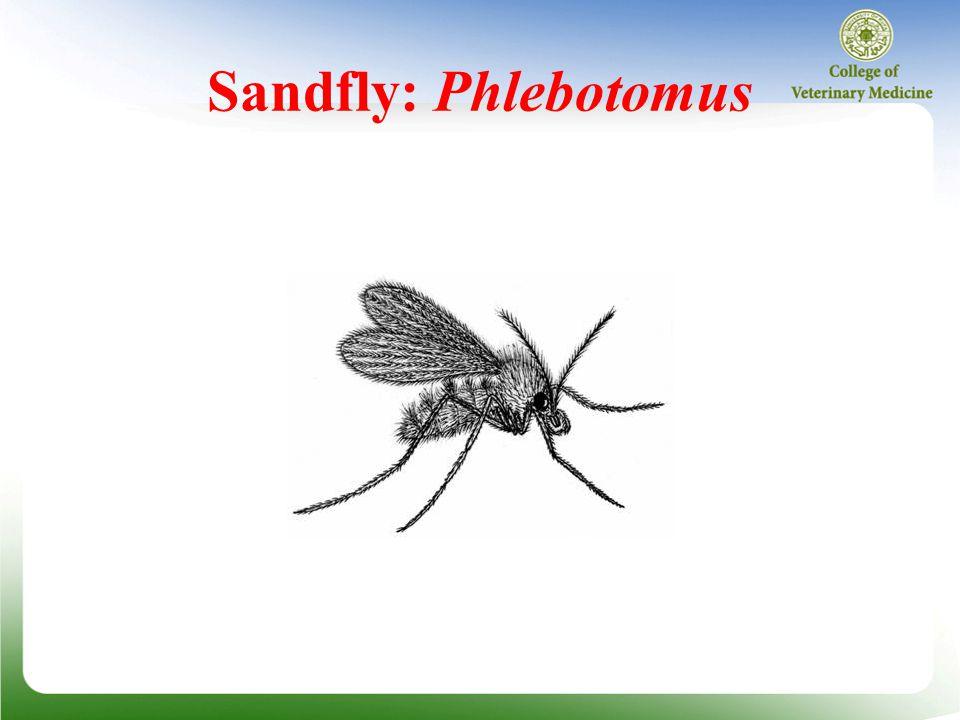 Sandfly: Phlebotomus