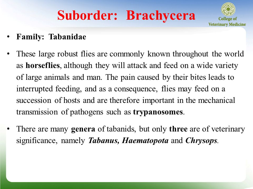 Suborder: Brachycera Family: Tabanidae These large robust flies are commonly known throughout the world as horseflies, although they will attack and feed on a wide variety of large animals and man.