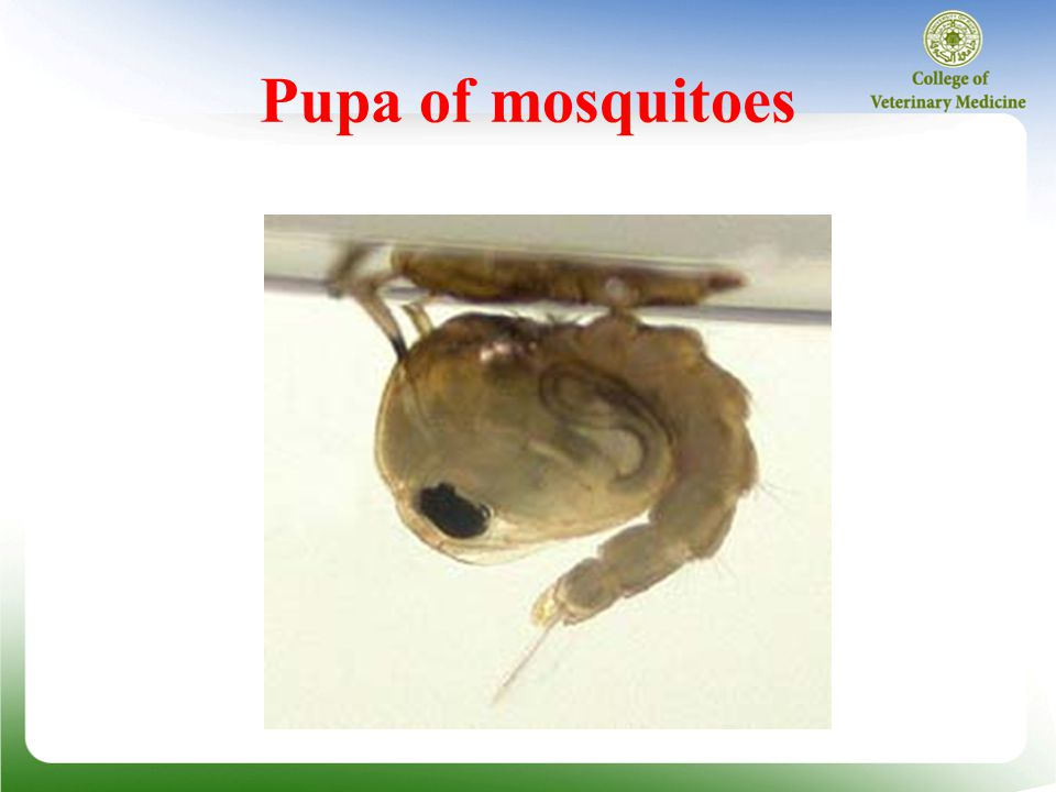 Pupa of mosquitoes
