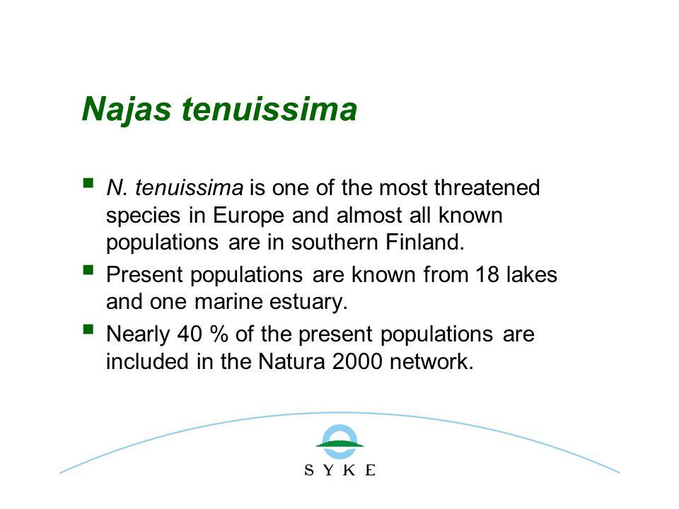 Najas tenuissima  N.