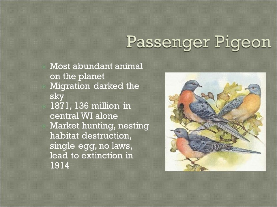  Most abundant animal on the planet  Migration darked the sky  1871, 136 million in central WI alone  Market hunting, nesting habitat destruction, single egg, no laws, lead to extinction in 1914