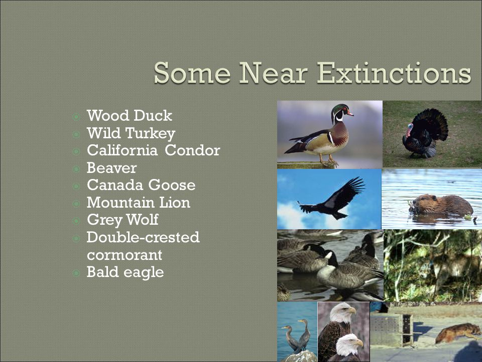  Wood Duck  Wild Turkey  California Condor  Beaver  Canada Goose  Mountain Lion  Grey Wolf  Double-crested cormorant  Bald eagle