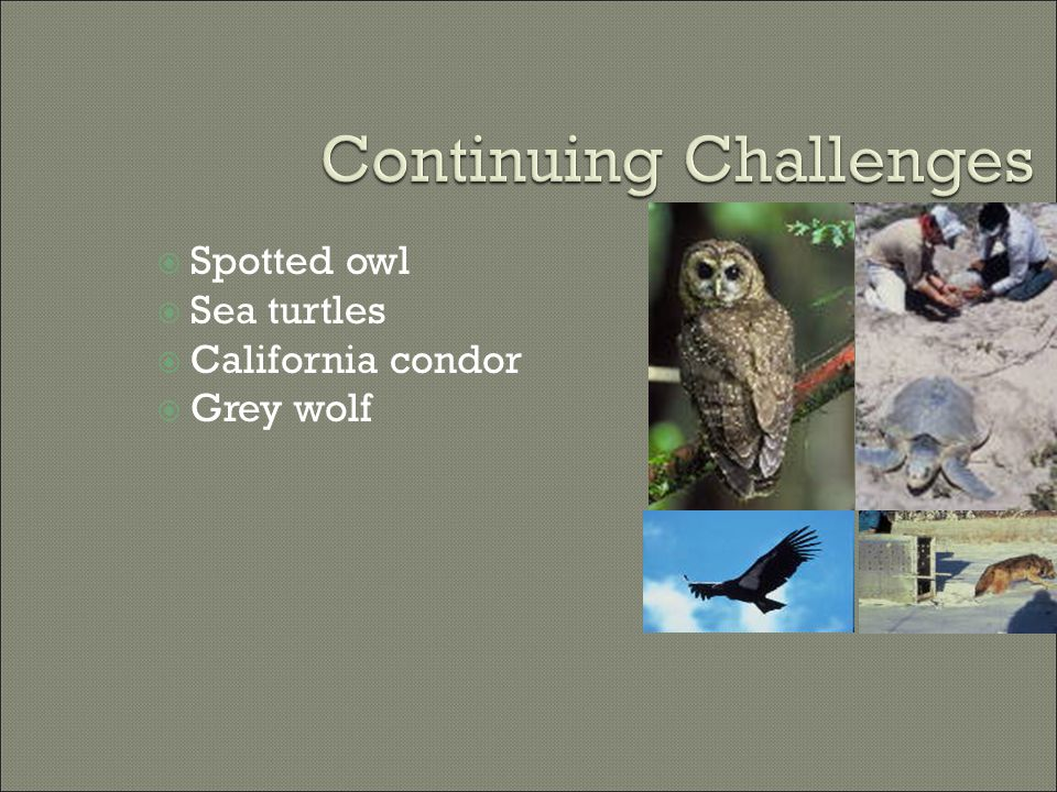  Spotted owl  Sea turtles  California condor  Grey wolf