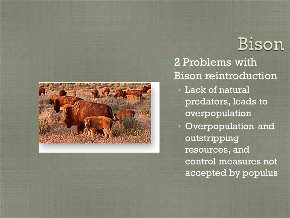  2 Problems with Bison reintroduction Lack of natural predators, leads to overpopulation Overpopulation and outstripping resources, and control measures not accepted by populus