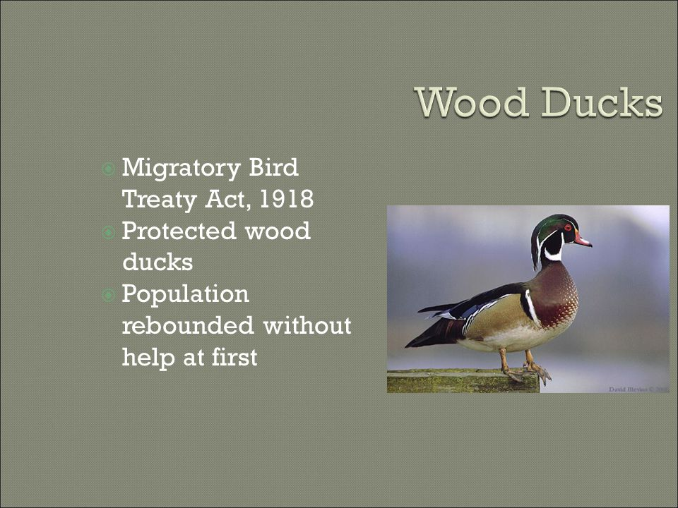  Migratory Bird Treaty Act, 1918  Protected wood ducks  Population rebounded without help at first