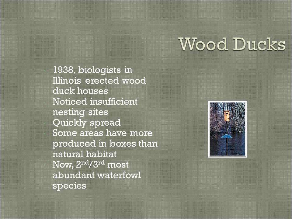 1938, biologists in Illinois erected wood duck houses Noticed insufficient nesting sites Quickly spread Some areas have more produced in boxes than natural habitat Now, 2 nd /3 rd most abundant waterfowl species