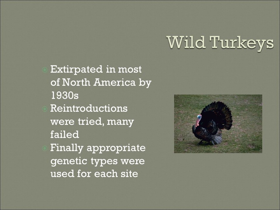 Extirpated in most of North America by 1930s  Reintroductions were tried, many failed  Finally appropriate genetic types were used for each site