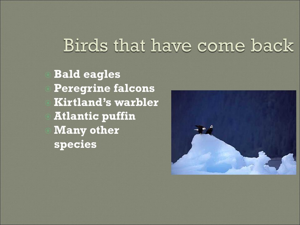  Bald eagles  Peregrine falcons  Kirtland's warbler  Atlantic puffin  Many other species