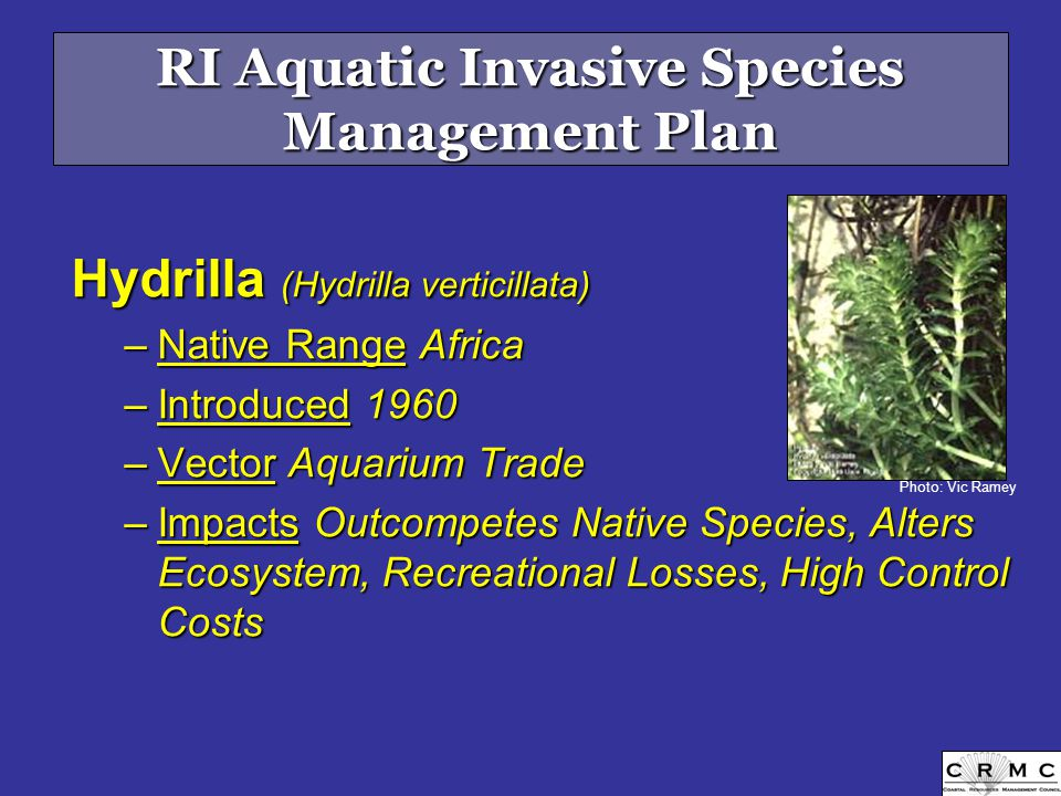 RI Aquatic Invasive Species Management Plan Hydrilla (Hydrilla verticillata) –Native Range Africa –Introduced 1960 –Vector Aquarium Trade –Impacts Outcompetes Native Species, Alters Ecosystem, Recreational Losses, High Control Costs Photo: Vic Ramey